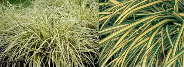 carex hachijoensis 39 evergold 39 stonepocket know what you grow. Black Bedroom Furniture Sets. Home Design Ideas